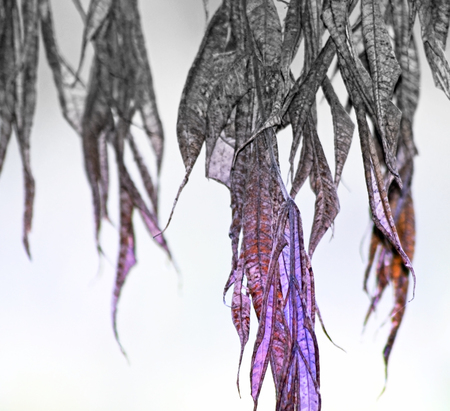 fading: Dried and withered leaves hanging from tree - fading to gray Stock Photo