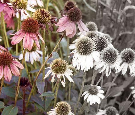 Coneflowers at the end of Summer