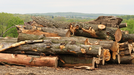Trees that have been felled and cut into logs Stock Photo