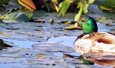 Mallard Duck male swimming in Marsh surrounded by Lily Pads in early morning