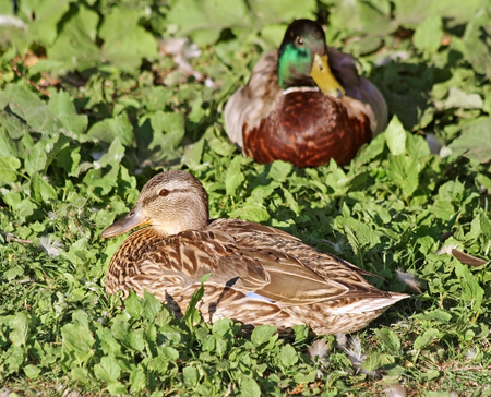 Breeding pair of Mallard ducks resting on grass.   Female in foreground