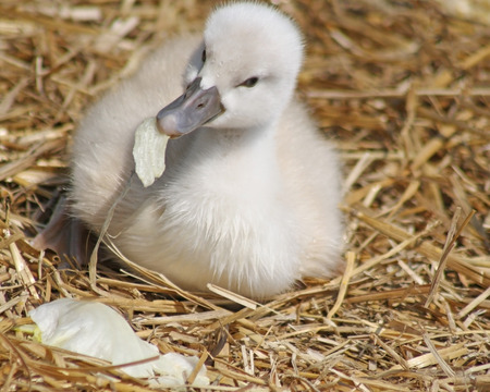 Week old baby Mute Swan nibbles on a piece of lettuce as it lays on its nest of straw Stock Photo