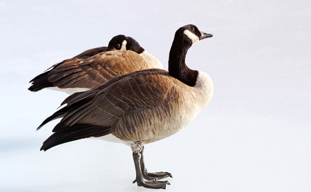Breeding Pair of Canada Geese standing on frozen pond in Winter Stock Photo