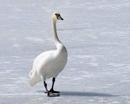 Wild Trumpeter Swan with its distinctive black beak walks across frozen snow covered pond