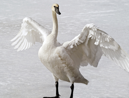 Wild Trumpeter Swan standing on frozen pond stretching its huge wings.  The Trumpeter is known for its distinctive black beak and black webbed feet Stock Photo