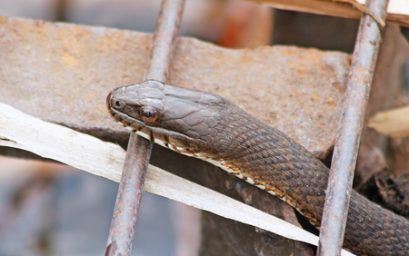 WATER Snake slithering up through rusty metal grate Stock Photo