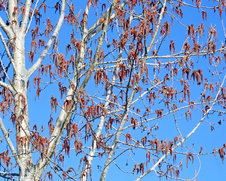 New growth and seeds dangle from the spindly branches of a Birch tree in early Spring