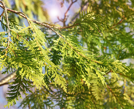 The spindly branches and leaves of a Cedar Tree with illuminating light in background