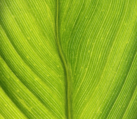 Close up of a Hosta leaf showing details and texture