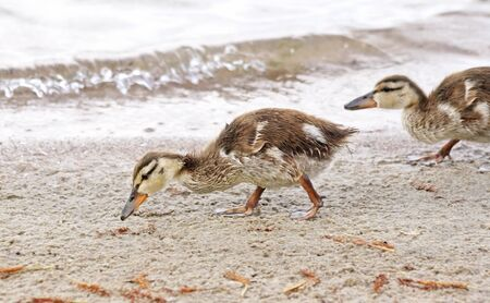 Two young Mallard ducklings venture out on sandy shore in search for food