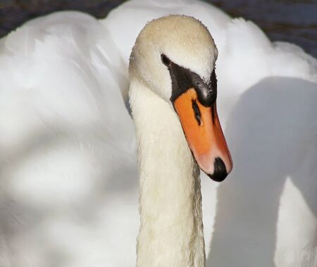 Close up of a beautiful Mute Swan with its distinctive orange beak