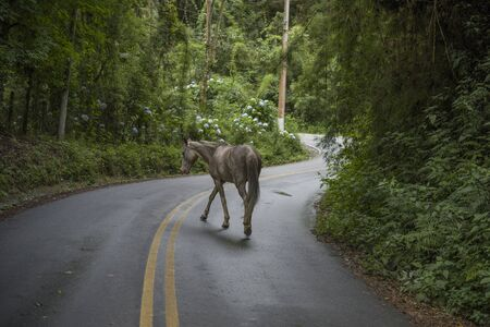 Horse walking in a road among the Atlantic forest, Campos do Jordão, São Paulo, Brazil