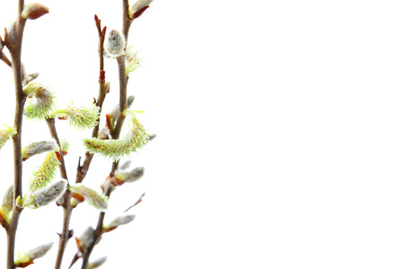 catkins: catkins willow branches on white background Stock Photo