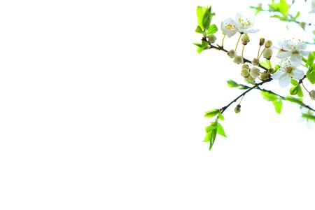 plum tree: plum tree branch with flowers blossoms on white