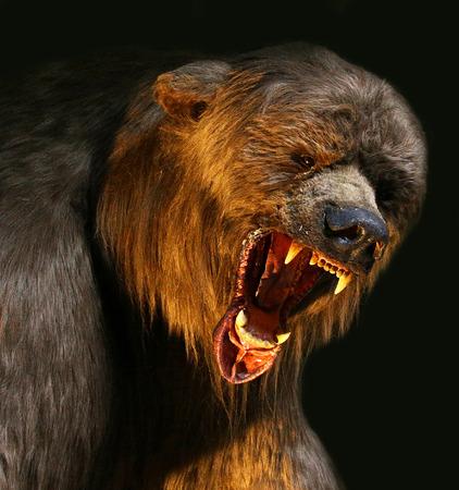 attacking: closeup angry big brown bear with huge jaws