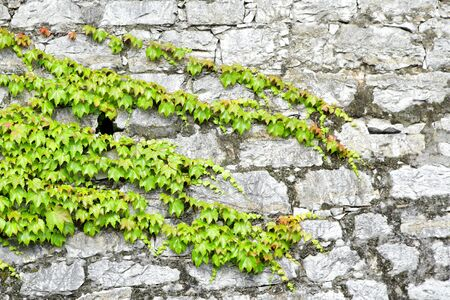 ivy wall: beautiful green ivy on ancient castle stone wall