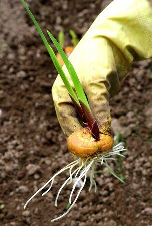 Mano que sostiene la flor del gladiolo bulbo de la cebolla antes de plantar Foto de archivo - 40907824