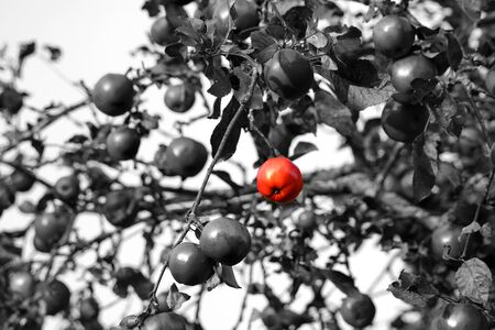 multiple personality: grey apples with one red bright standing out from the crowd Stock Photo
