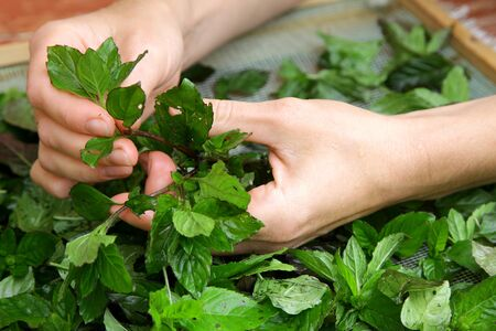 skilled woman hands gathering collecting green tea raw leaves and preparing for drying close-up frame