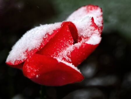 Spring, unexpected cooling.Snow on tullip blossoms.Unexpected weather changes in May 12,2020-snow during blossom in the nature.Vilnius, Lithuania. Bad weather. Climate change. Tullips under the snow Фото со стока