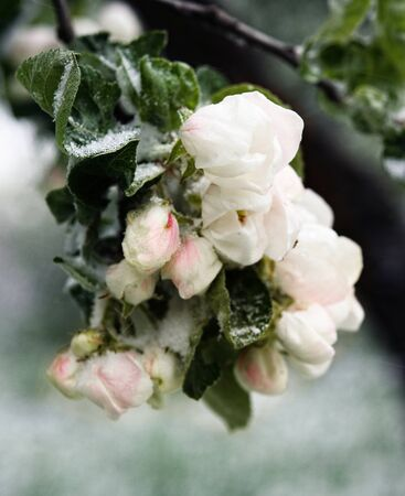 Spring, unexpected cooling. Snow on flowering trees, apple blossoms in the snow. May 12,2020 - unexpected snow in Vilnius, Lithuania. Blossom apple trees with the snow. Bad for harvest Фото со стока