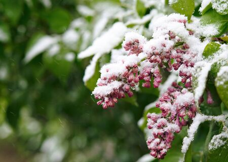 Spring, unexpected cooling.Snow on flowering trees,liliac blossoms in the snow.Unexpected weather changes in May 12,2020-snow during blossom innature.Vilnius, Lithuania. Bad weather. Climate change