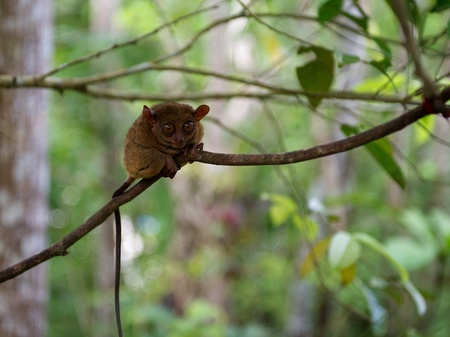 freaked: One small tarsier, little monkey in green blur background in Philippines, Bolhol island