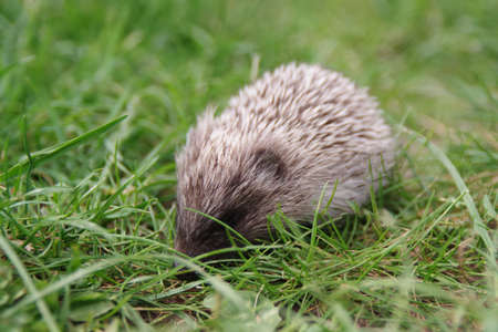 A Little cute hedgehog baby on the green grass. Archivio Fotografico