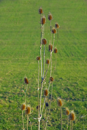Thistle at field