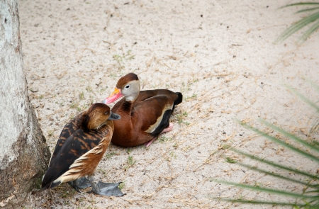 fulvous: Fulvous whistling-duck (dendrocygna bicolor) and Black-bellied whistling-duck (dendrocygna autumnalis) close together