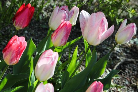 slanted: Sunlit slanted red and pink tulips Stock Photo
