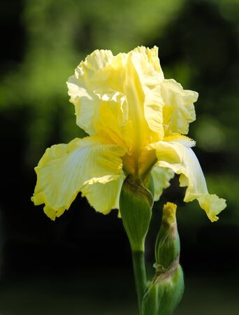 Close up of yellow bearded iris against blurred background