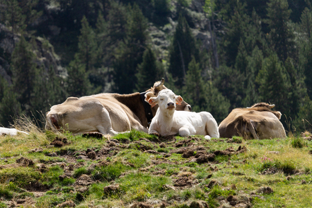 A white calf sits between two brown cows.