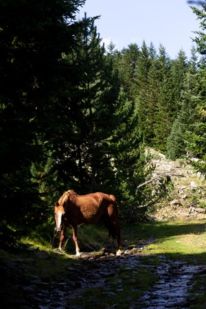 A horse eats at the forest, while being surrounded by pine trees.