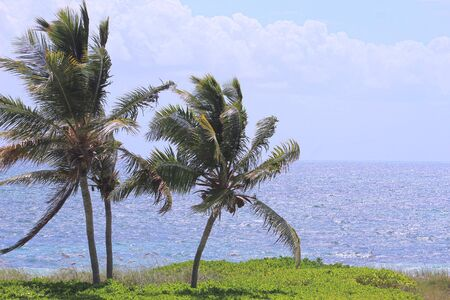 Three Palm Trees Blowing in the wind with Calm Blue Ocean Horizon in Background on Turks and Caicos Islands
