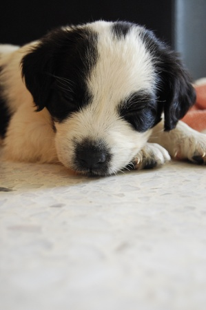 Sleeping Border Collie Puppy Banque d'images