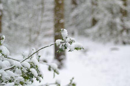 Snow covered Holly Branch with trees in the background photo