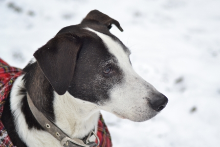 lurcher: Dog in the snow wearing a jacket and collar