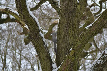 Grey Squirrel in Snowy Tree photo