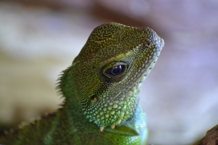 Close up of Beautiful Chinese Water Dragon Reptile photo