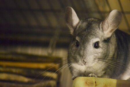 chinchilla: Cute Chinchilla on Wooden Platform