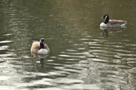 canadian geese: Canadian Geese  Stock Photo