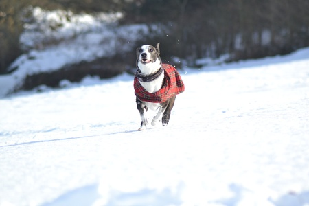 Happy Dog running through the snow Stock Photo - 18107193