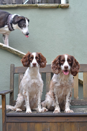 lurcher: Dog photobombs two Springer Spaniels Stock Photo