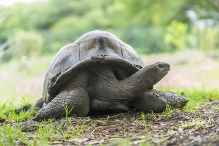 Giant Turtle in Mauritius