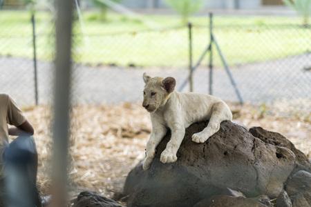 모리셔스에서 바위에 흰 사자 아기