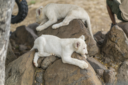 White lion baby on a rock in Mauritius