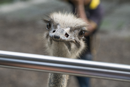 Close up of a wild ostrich looking over a rail with a blurred out background