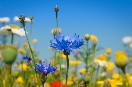 Blue Cornflower amidst white and yellow Daisies Stock Photo