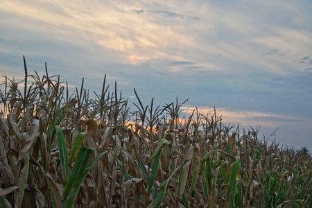 champ de mais: Cornfield at almost sunset